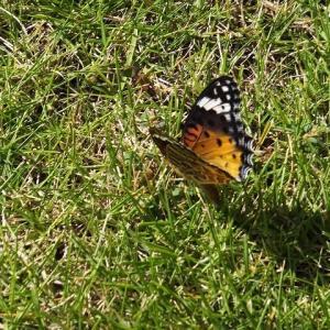 蜻蛉と蝶々