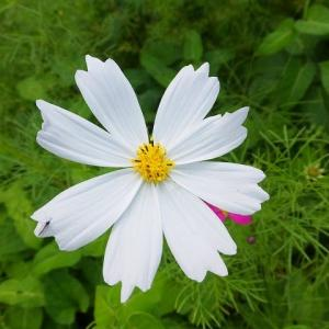 コスモスの花達