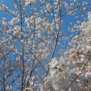 春・桜・爆・狂・鱸②