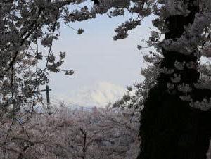 旅の窓リバイバル2~2019年(平成31年)本荘公園の桜
