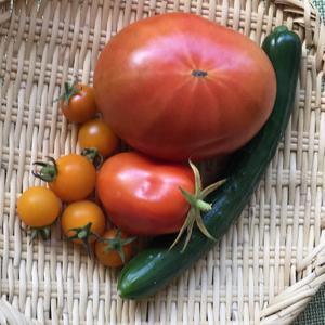 鉢植えのトマトと胡瓜