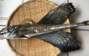 トクビレ(八角)のお刺身&塩焼き&皮せんべい