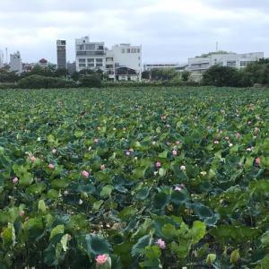 """蓮(ハス)の花が満開!写真撮影は""""30,000ドン""""となっております(^o^;)"""