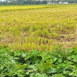 """【収穫】ハノイは""""稲刈り""""の季節!暖かい国ならではの二期作ですね~~(^o^)"""