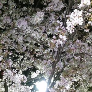 コロナに負けず深夜のソロ花見行ってきます!!