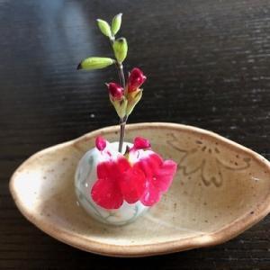 チェリーセージは、咲くのが早い!