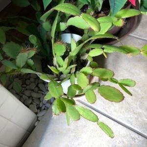 家のカニバサボテンは、何年咲いてないんだろう?