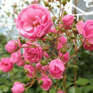 ヘレンド ウィーンの薔薇ピンク。。♡ 2020春 ポンポネッラ日記。。♪