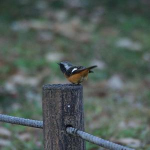 釜の渕公園の小鳥(青梅市) 2020年12月20日