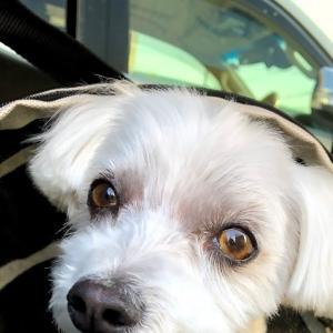 チャイルドシートならぬお犬さまシート、ISOFIXBELT