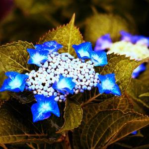 紫陽花の青色