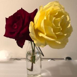 我が家のベランダで咲いた薔薇