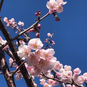 桜 咲いてた