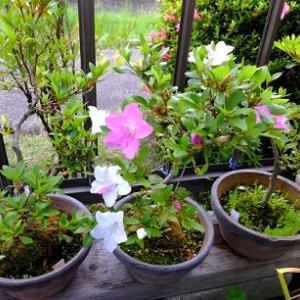 大好きな花のひとつ「和泉」