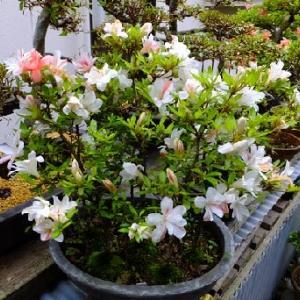 可愛らしく咲く「御穂の舞」