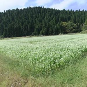 関ヶ原の「そば畑」