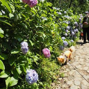 6/26 6月の庭と、あじさい巡り 太平山散歩