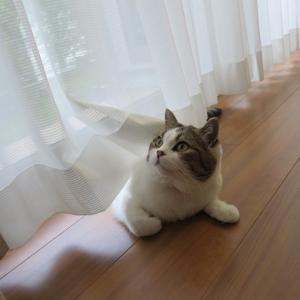 カーテンから猫