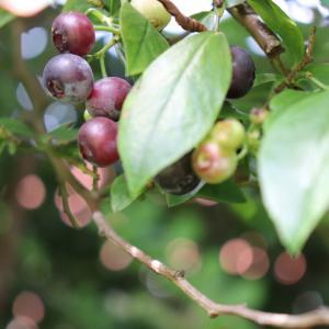 甘酸っぱいブルーベリーを収穫♡フルーツパフェも♪