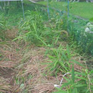 生姜の草入れ