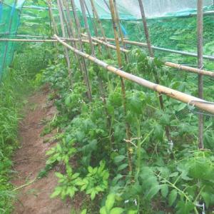 伸びるトマト