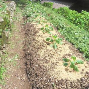 キャベツ苗植える