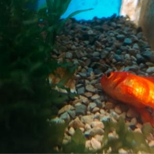 沈む金魚と浮く金魚