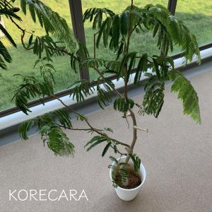 ||  ズボラが育てる観葉植物の必須アイテム! 『セラミスグラニュー』7年後の真実 ||