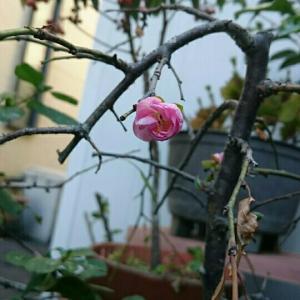 今咲きますか。しだれ梅。