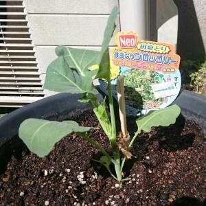 今期の園芸開始!! お野菜の時間。