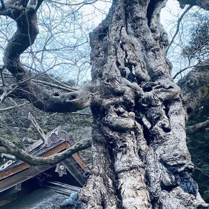 出雲大社・命主社 龍の木