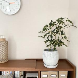 久しぶりに我が家にお迎えした観葉植物♪