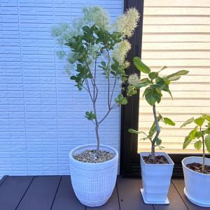 【植物】2回も倒してショック!我が家に新しくお迎えした最高級グリーン♪