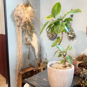 【グリーン】ふるさと納税で届いたフィカス・アルテシマ の5ヶ月後の姿!花屋さんでの植え替え♪