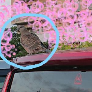幸せの鳩。