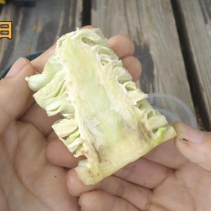 【画像】キャベツを『無限』に食べる方法 #キャベツ #収穫
