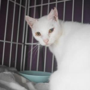 ジュディマリのママ、白猫ビアンカちゃん保護しました。