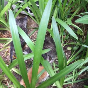 7月のTNR活動 子猫を見つけてしまった!