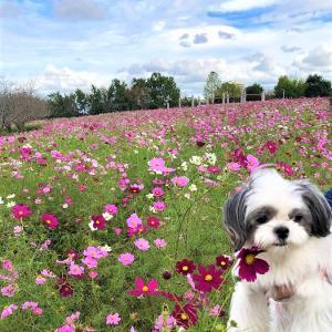 ピンクのコスモスの丘