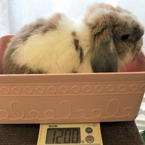 ペコ、体重激減してました。