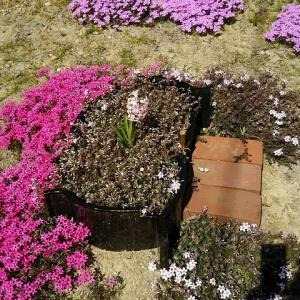 うさぎ 芝桜の下に眠るアゲハちゃん