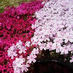 うさぎ アゲハちゃんのお墓の芝桜が満開 !