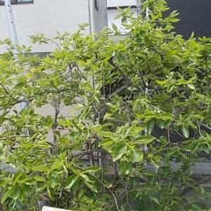 うさぎ 柿の葉茶