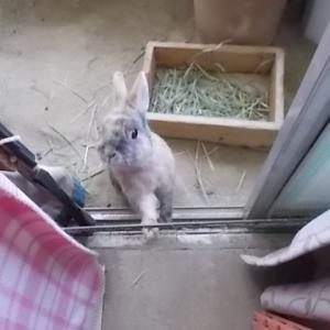 うさぎ 大きなウサギさん