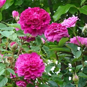 薔薇の香りに包まれて