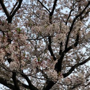 咲いたね  桜も季節も いつもと変わらず   がんばっていきましょう