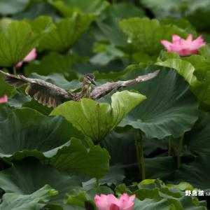 1sec flight・・・ゴイサギ(ホシゴイ)