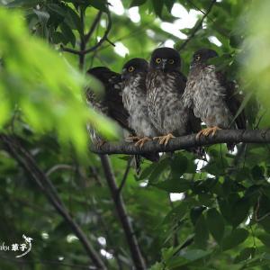 鳥も木から落ちる・・・アオバズク