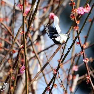 梅桃桜・・・シジュウカラ