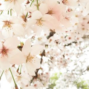スマホカメラで桜をきれいに撮るコツ! 誰でも簡単にできる方法。もちろん一眼カメラも・・・